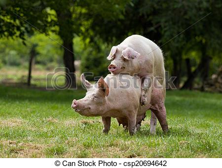 Cerdos cópula