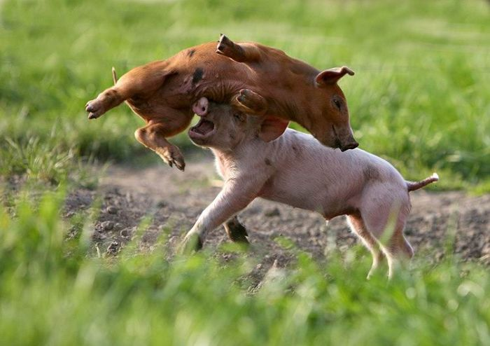 Cerdos en lucha 7