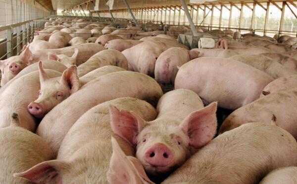 Cerdos muchos