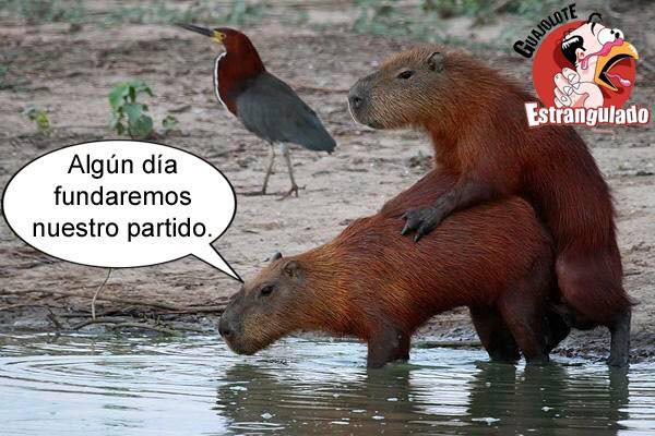 Meme capibaras