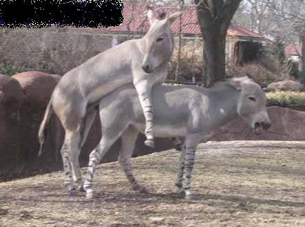 burros cogiendo