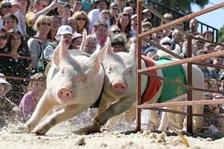 cerdos carrera