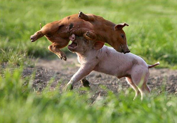 cerdos en lucha