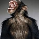 chimpancè risa