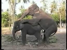 elefantes cogiendo