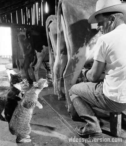 gatos-leche