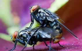 moscas cogien