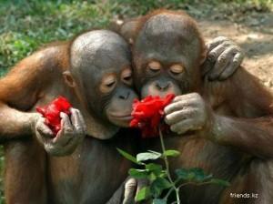 orangutanes o