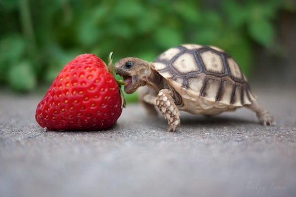 tortuga fresa