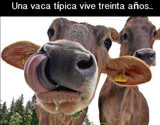 vaca mbv